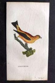 Brightly (Pub) 1815 Hand Col Bird Print. Crossbill